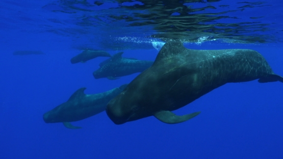 Moorea, groupe of  pilote whales swimming close to the surface