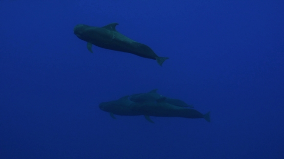 Moorea, group of four pilote whales swimming close to the surface