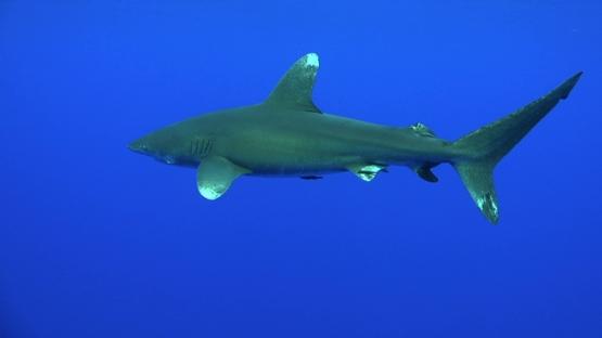 Moorea, single oceanic shark swimming around the camera