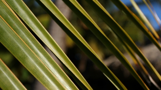 Bora Bora, green palm leaves