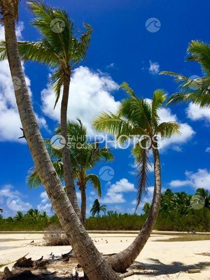 Palm trees at the beach of Tahuna Rahi, Tetiaroa