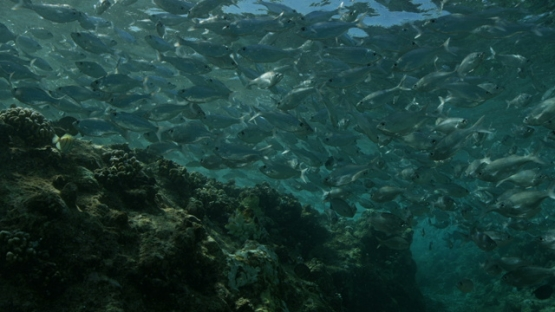 Rangiroa, flag fishes schooling in the pass Tiputa, shallow water, 4K UHD