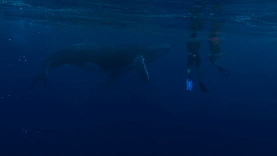 Tahiti, Humpback whale calf comming from deep sea and surfacing