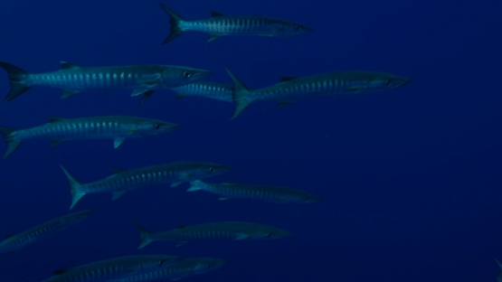Rangiroa, barracudas schooling in the pass Tiputa and deep blue ocean, 4K UHD