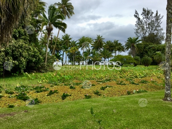 Tahiti, Lawn and Coconut trees in the Harrison Smith Botanical Garden
