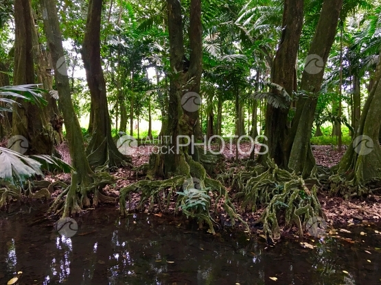 Tahiti, Tropical chestnut trees and river of the Harrison Smith Botanical Garden