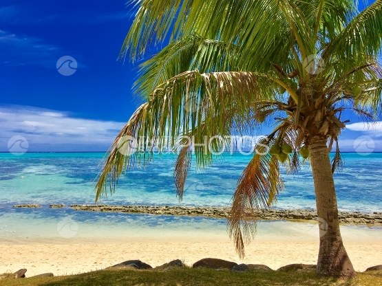 Moorea, Coconut tree on the white sand beach near the lagoon shore
