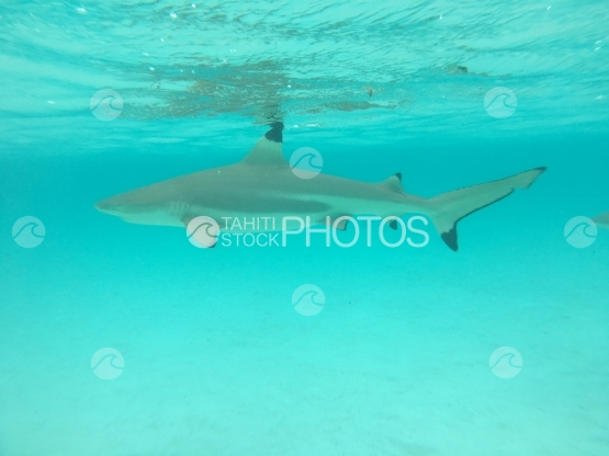Moorea, Black tip lagoon shark swimming in turquoise water