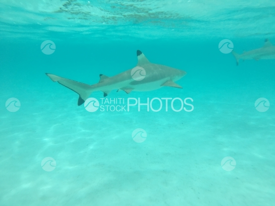 Moorea, black tip lagoon shark in turquoise water, swimming