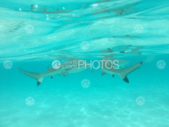 Moorea, Two black tip sharks swimming in the lagoon