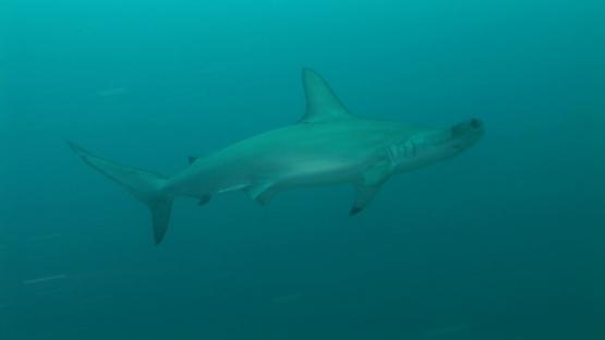 Nuku Hiva, hammerhead shark swimming, sphyrna lewini
