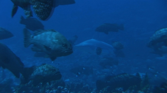 Fakarava, black tip reef shark and marbled groupers gathering in the pass before spawning