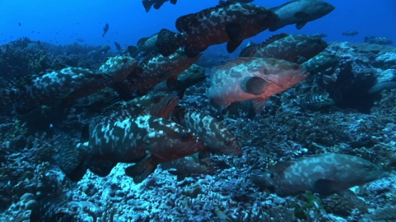 Fakarava, marbled groupers gathering in the pass before spawning