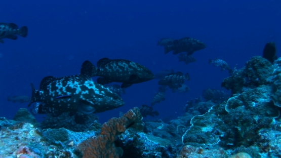 Manihi, marbled groupers gathering in the blue pass before spawning