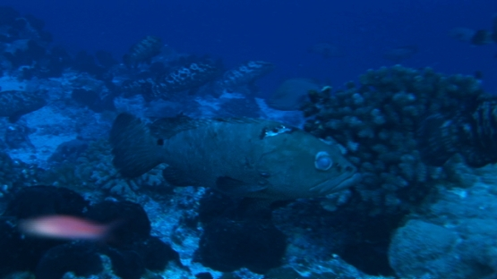 Manihi, marbled groupers gathering in the pass before spawning, zoom out