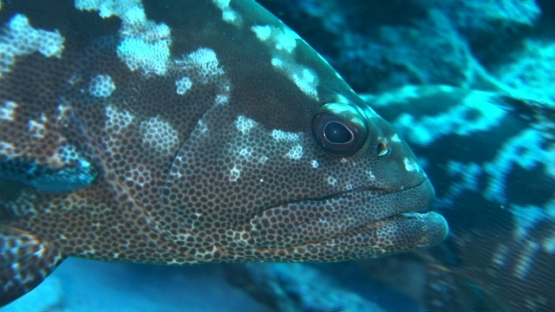 Manih, marbled grouper gathering in the pass before spawning, close