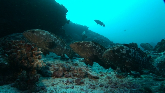 Manihi, marbled groupers gathering in the pass before spawning