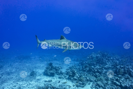 Tahiti, Tiger shark swimming