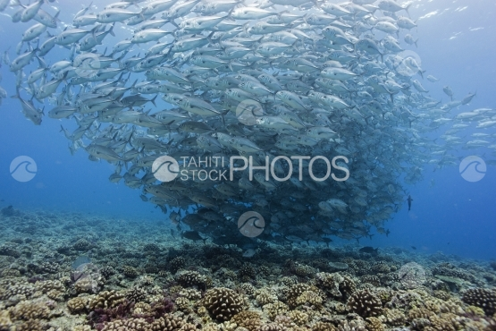 Tahiti, big school of jack fish near the coral reef