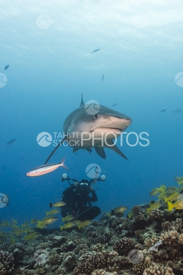 Tahiti, tiger shark shot by underwater photographer
