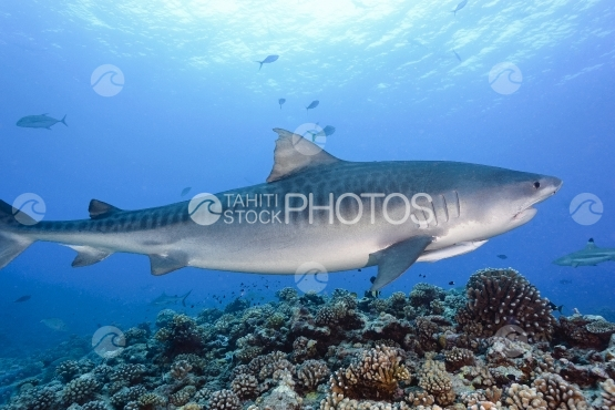 Tahiti, tiger shark swimming along the coral reef