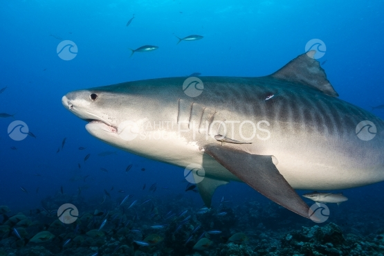 Tahiti, tiger shark swimming close to photographer