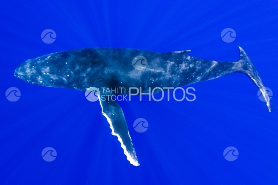 Tahiti, humpback whale  resting in the deep blue ocean with sun rays