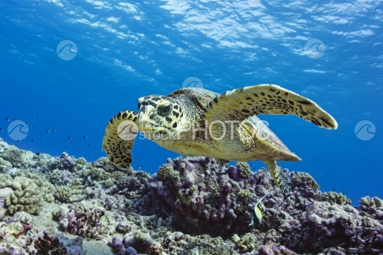 Rangiroa, Hawksbill turtle swimming near the coral reef