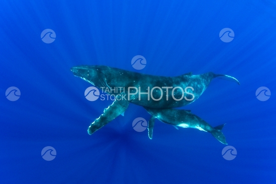 Tahiti, humpback whale swimming by the surface