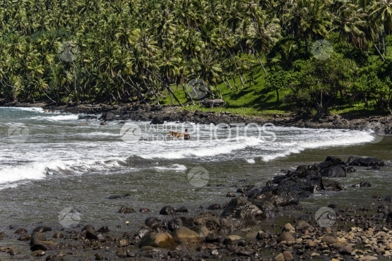 Nuku Hiva, man and his horse having bath in the sea, near the black sand beach