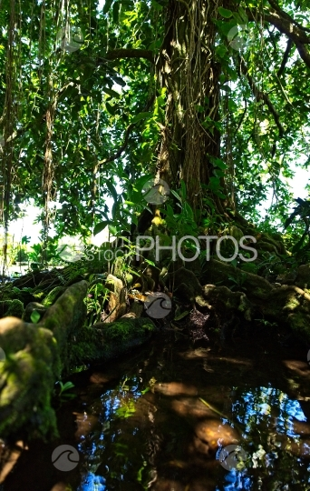 Tahiti, big tree named mape, with big roots in the river