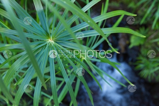 Tahiti, papyrus leaves near a river