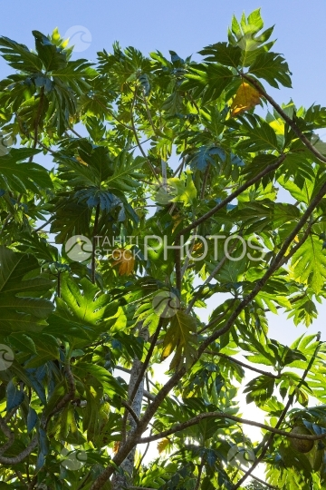 Polynesia, bread fruit tree