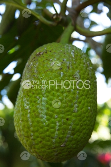 Polynesia, bread fruit