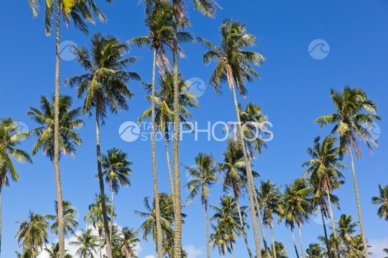 Tahiti, coconut trees grove