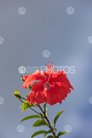 Hibiscus rosa-sinensis, red tropical flower and sky
