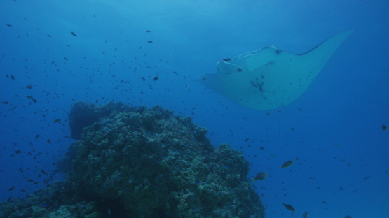 Tikehau, Manta Ray swimming at the cleaning station