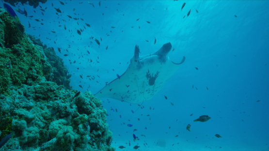Manta ray over cleaning station in the lagoon, Tikehau, 6K