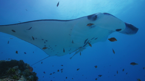 Manta ray with remoras over the camera in the lagoon, Tikehau