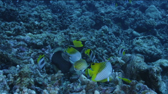 Titan trigger fish and butterfly fishes digging the corals on the reef, Tikehau