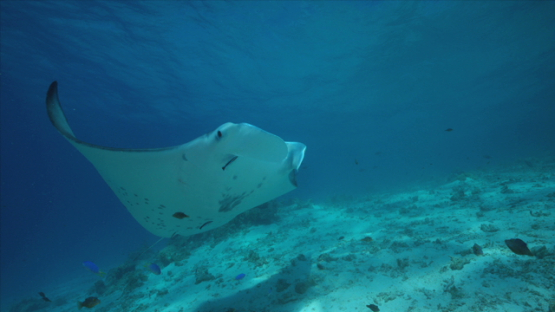 Manta ray at the cleaning station, in the lagoon, Tikehau, 6K