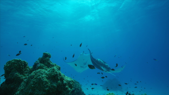 Two Manta rays at the cleaning station, in the lagoon, Tikehau, 6K