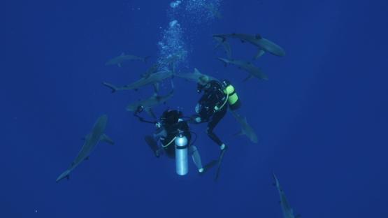 Grey sharks swimming around underwater photographers, Tiputa pass, Rangiroa, 4K UHD