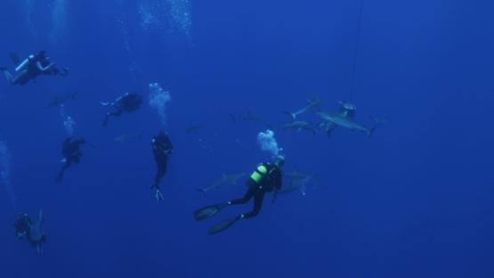 Scuba divers watching grey sharks, Tiputa pass, Rangiroa, 4K UHD
