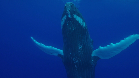 Humpback whale standing vertical near the surface, Rurutu, 4K UHD