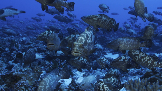 Marbled groupers gathering in the pass during the reproduction, Fakarava, 4K UHD