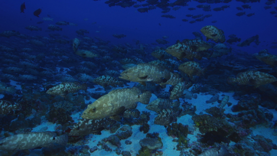 Hundreds of Marbled groupers facing the current in the pass before mating, Fakarava, 4K UHD