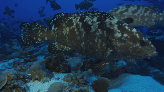 Marbled groupers facing the current in the pass before reproduction, Fakarava, 4K UHD