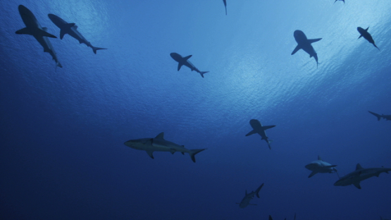 Grey sharks schooling in the pass, Fakarava, slow motion, 6K