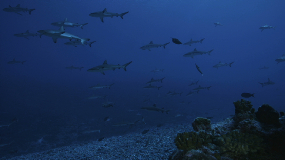 Grey sharks schooling in the pass, Fakarava, 6K